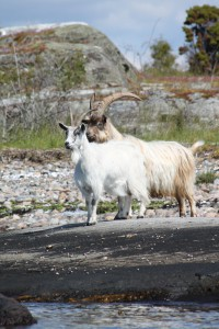 [cml_media_alt id='3665']Goats[/cml_media_alt]